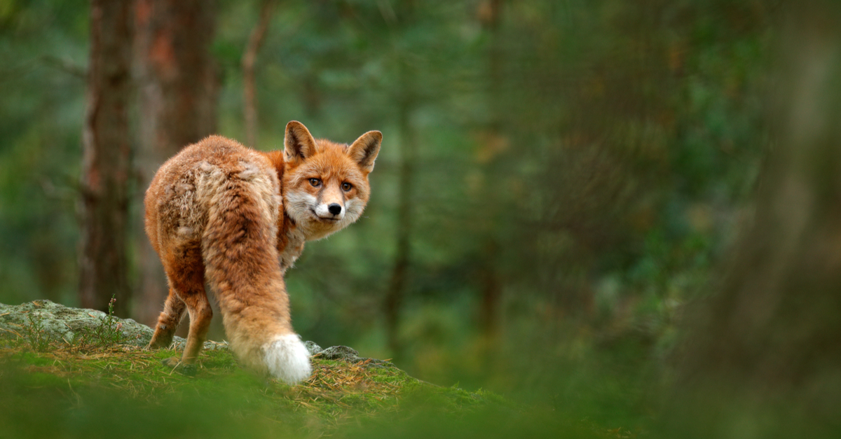fox in forest europe